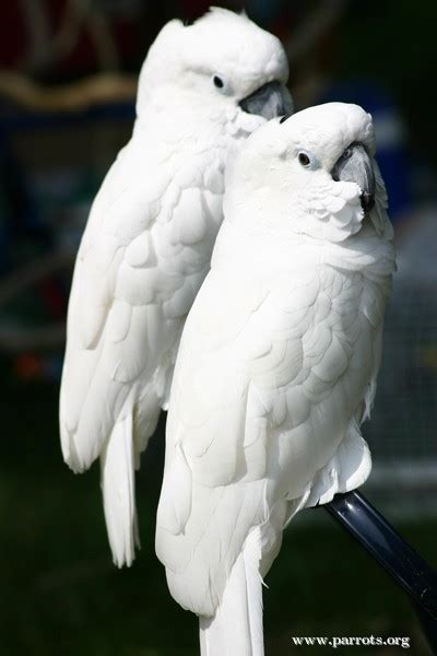 Parrot Encyclopedia | White-crested Cockatoo | World
