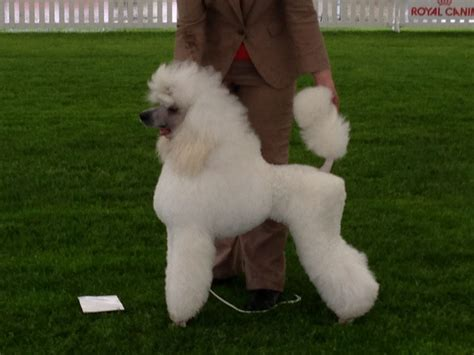 Poodle - Wikimedia Commons