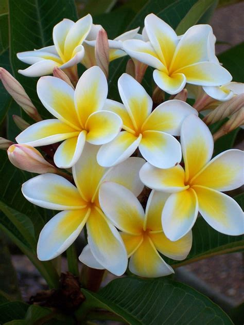 Free Bunch of Frangipanis 1 Stock Photo - FreeImages