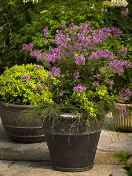 Buy Lilacs Online | The Tree Center™