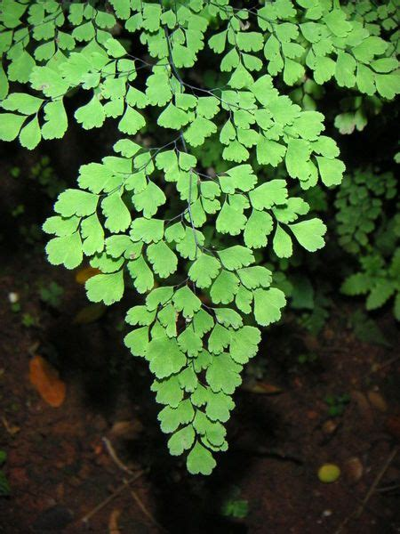 One of the more delicate species of ferns the maidenhair