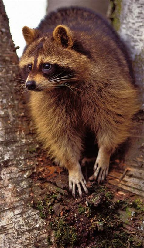 Tracking Tips: Raccoon or Otter? | Articles | Tracking Tips